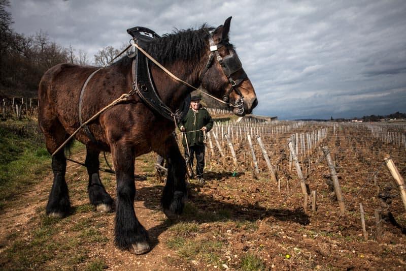 12°5, des raisins, des hommes... <br>Et des chevaux 1