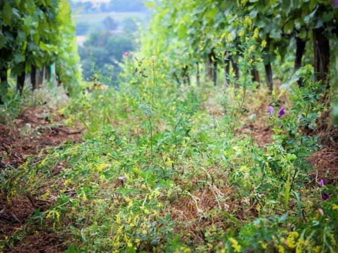 Beaucoup de richesse entre les rangs. Jusqu'a 40 variétes végétales différentes... - © 180°C - Photographie Stephan Lagorce