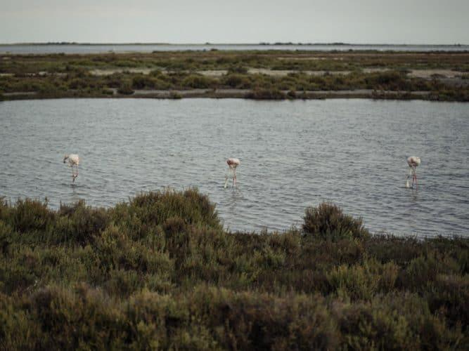 Diminuer les rizières, c'est favoriser le retour des marais salants et cela met en danger la biodiversité avec la disparition de certains végétaux et le départ annoncé d'oiseaux migrateurs - © 180°C - Photographie Éric Fénot
