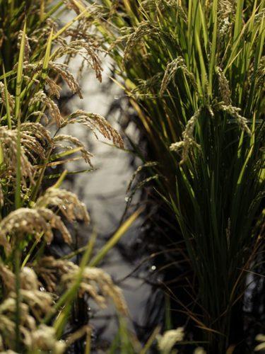 Les rizières sont mises en eau via un pompage dans le Rhône - © 180°C - Photographie Éric Fénot