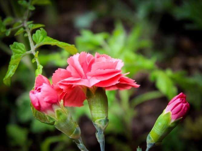 Oeillets en floraison, très bienvenus dans le jardin - © 180°C Stephan Lagorce