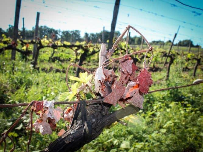 En mai 2017, la vigne a gelé à 80%, elle reprend aujourd'hui tant bien que mal... - © Photographie Stephan Lagorce