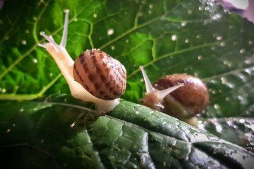 Escargots-Liban-Gazette-180c
