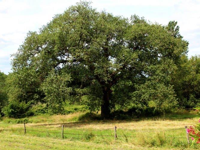 Le chêne de la propriété dispensant son énergie au domaine... - © 180°C - S. Lagorce
