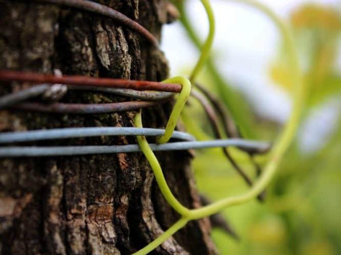 Vigeur de la vigne... - © 180°C - S. Lagorce