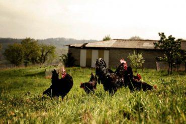 poule-noire-gasconne-gazette-180c