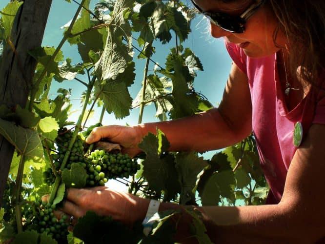 Les raisins doivent être libres... Soins à la vigne, encore et toujours - 180°C - Photographie Stephan Lagorce