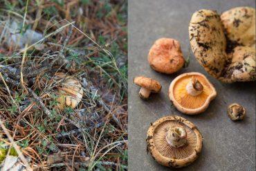 champignons-sanguins-gazette-180c