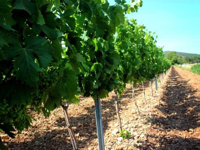 Jeunes vignes au cordeau... On pourrait presque manger par terre.