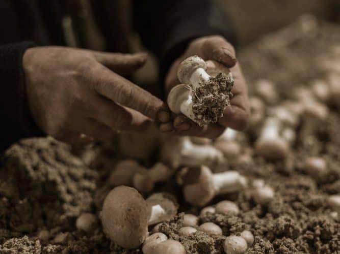 400 à 500 kilos de champignons de Paris sont ramassés manuellement par Angel chaque semaine - © 180°C - Photographie Eric Fénot