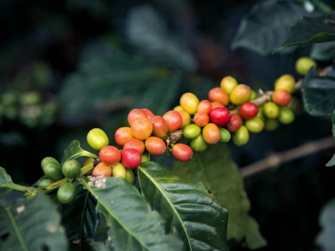 Cerises de café arrivant à maturité sur un plant commençant à être touché par la rouille - © 180°C Photographie Camille Oger