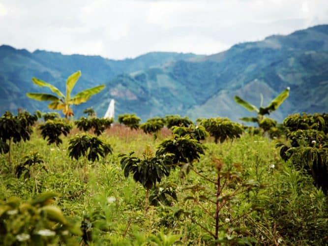 La nouvelle parcelle de Ducelina Vargas, située plus haut - les plants ont 11 mois - © 180°C Photographie Camille Oger