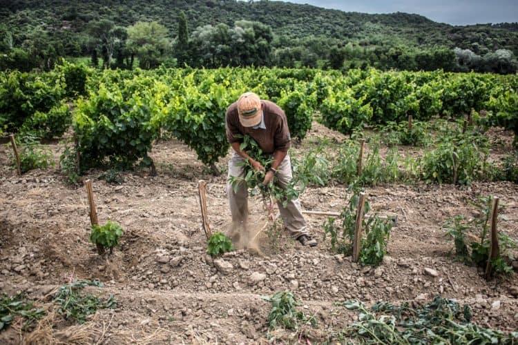 """À la binette, travail du sol et élimination des plantes indésirables dans une parcelle de vieilles vignes où quelques """"manquants"""" ont été remplacés par de jeunes plants - © 180°C Photographie Jean-Luc Luyssen"""
