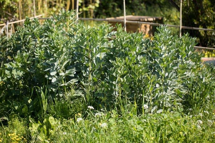 Les fèves du jardin au moment de la récolte - © 180°C Photographie Camille Oger