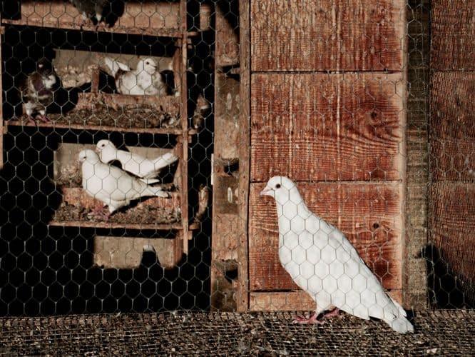 Le cheptel se renouvèle naturellement, sans l'apport d'œufs ou d'oisillons étrangers - © 180°C - Photographie Manu Rodriguez