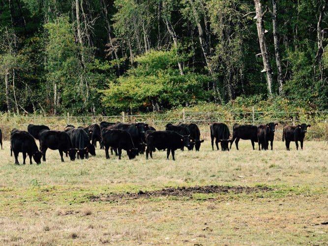 Les troupeaux de wagyu paissent dans un environnement préservé et paisible - © 180°C - Photographie Manu Rodriguez