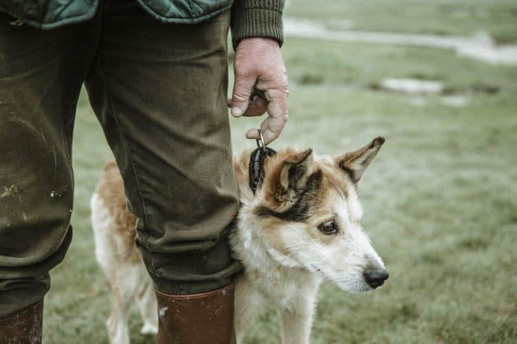 Aux côtés de Roland, Tango, un chien croisé de 8 ans. Son travail, surveiller le troupeau, regrouper tout ce petit monde en fin de journée et prévenir son maître quand l'une des bêtes s'est enlisée ou s'est blessée - © 180°C - Photographie Éric Fénot