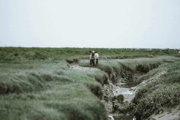 Roland conserve environ 20 % du troupeau pour renouveler le cheptel des mères car il est formellement interdit de faire entrer dans le troupeau des mères venues de l'extérieur.- © 180°C - Photographie Éric Fénot