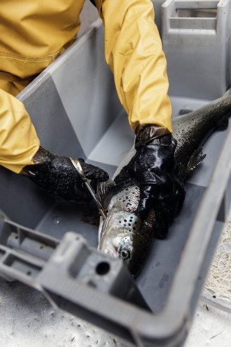 Assommé dans les dix secondes qui suivent sa capture, le saumon est ensuite saigné puis éviscéré et envoyé entier aux chefs (25% des commandes), aux poissonniers et aux particuliers - © 180°C - Photographie Eric Fénot