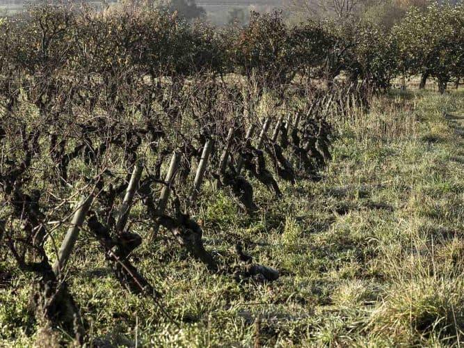 Son terrain de jeu? Une dizaine d'hectares plantée de melon de Bourgogne – le cépage star du muscadet – et de folle blanche, enracinée sur deux terroirs différents. -  © Viamo - Photographie Antonin Bonnet