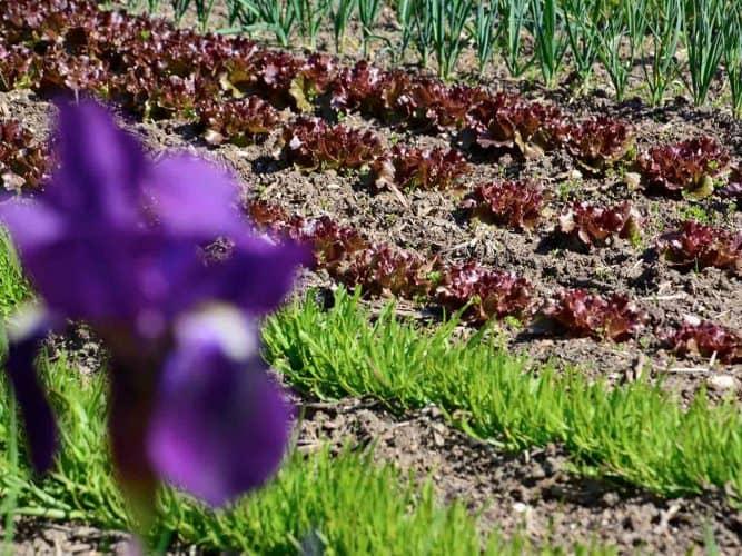 Iris et rangs de salades à la Chassagnette - © 180°C Photographie Manu Rodriguez