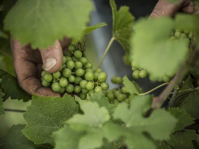 Sa philosophie? Vendanger manuellement des raisins mûrs mais jamais en surmaturité, pour préserver équilibre et fraîcheur dans les vins - © Viamo - Photographie Antonin Bonnet
