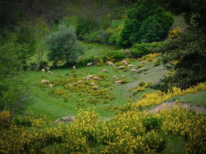 Scène de vie ordinaire chez les moutons, pas gênés par les genêts. - © 180°C - Photographie Manu Rodriguez