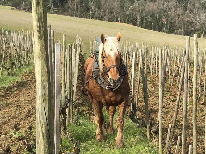 Un cheval entre les rangs, la manière la plus naturelle de labourer et d'aérer le sol. - © Domaine de Lorient