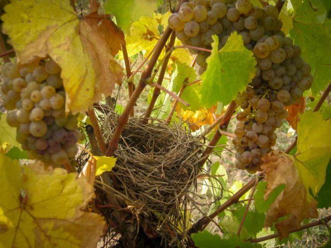 Un nid dans les vignes, sur le domaine, la vie est partout - © Photographie La Coulée de Serrant