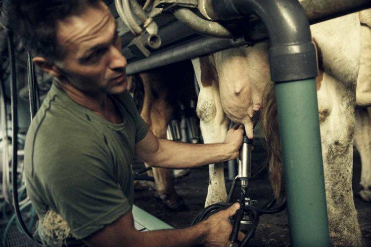 Il faut entre 22 et 25 litres de lait pour fabriquer une fourme - © 180°C - Photographie Éric Fénot