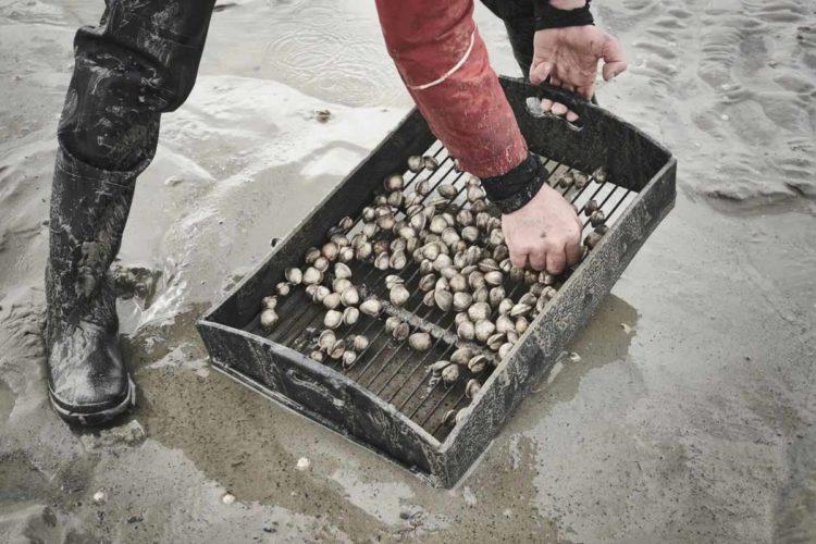 Le quota est fixé à 64 kg de coques par personne et par marée, et chaque coque doit mesurer au minimum 27 mm de diamètre - © 180°C - Photographie Éric Fénot