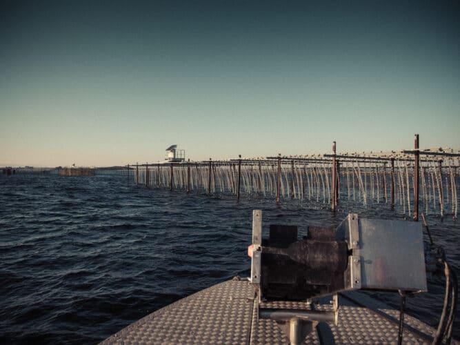 Immergées puis exondées, les huîtres sont élevées selon la technique développée et brevetée par Florent Tarbouriech, exclusivement pratiquée dans l'étang de Thau. - © 180° - Photographie Éric Fénot