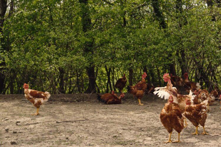 Les volailles de Quentin Edmont des Plumes Portoises à Portes-en-Valdaine - © 180°C - Photographies Éric Fénot